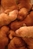 Puppies. Golden retriever pups at one week old Stock Photo