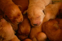 Puppies. Golden retriever pups at one week old Stock Image