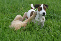 Puppies. Two puppies playing on a meadow stock photography