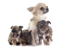 Puppies and adult chihuahua Royalty Free Stock Image