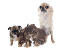 Puppies and adult chihuahua Stock Image