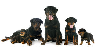 Puppies and adults rottweiler Royalty Free Stock Image