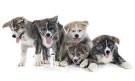 Puppies akita inu Stock Photo