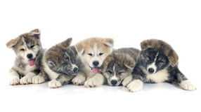 Puppies akita inu Royalty Free Stock Photos