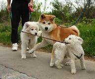 Puppies. Of Akita Inu, Maltese and Samoyed enjoying in the game Royalty Free Stock Photos
