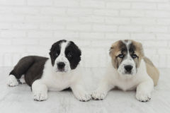 Puppies Alabai on a white background in the Studio. royalty free stock images