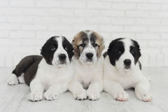 Puppies Alabai on a white background in the Studio. stock image
