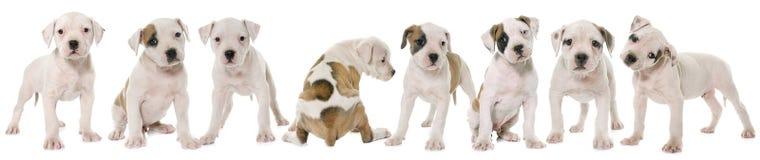 Puppies american bulldog Royalty Free Stock Images