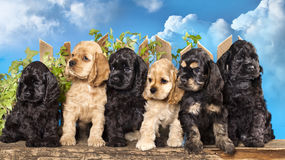 Puppies American Cocker Spaniel Stock Images