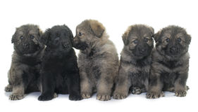 Puppies ancient type german shepherd Royalty Free Stock Images
