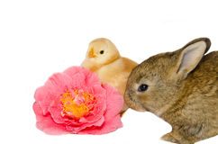 Puppies animals near pink camellia flower Royalty Free Stock Photo