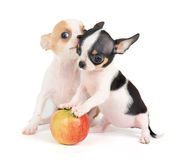 Puppies and apple Stock Photo