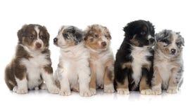 Puppies australian shepherd royalty free stock image