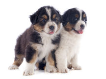 Puppies australian shepherd Stock Image