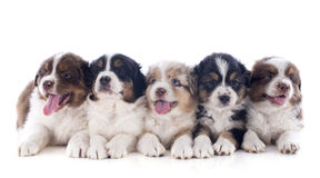 Puppies australian shepherd Stock Photo