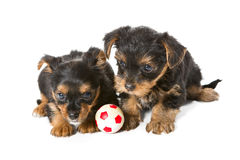 Puppies and the ball Stock Image