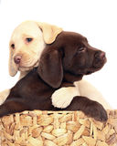 Puppies in a basket. Two puppies of breed Labrador a retriever in a basket. Puppies on a white background Royalty Free Stock Photography