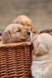 Puppies in basket Stock Images