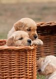 Puppies in basket Stock Photography