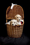 Puppies in a basket. Two puppies in a basket over a black background royalty free stock image