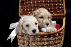 Puppies in a basket. Two puppies in a basket over a black background Stock Photography