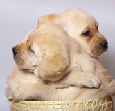 Puppies in a basket. Two puppies in a basket Royalty Free Stock Image