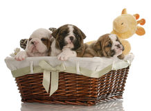 Puppies in a basket royalty free stock images