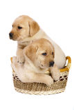 Puppies in a basket. Stock Photos