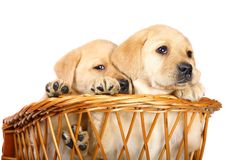 Puppies in a basket. Stock Photography
