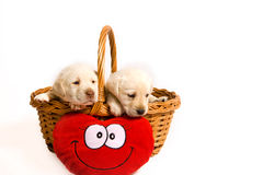 Puppies in a basket Royalty Free Stock Photos