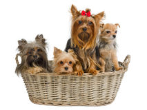 Puppies in a basket Royalty Free Stock Photography
