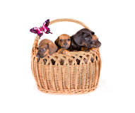 Puppies In Basket royalty free stock photography