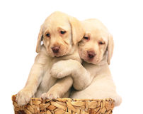 Puppies in a basket. Two puppies of breed Labrador a retriever in a basket. Puppies on a white background Royalty Free Stock Photos