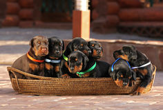 7 puppies in basket Stock Photography