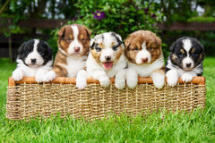 Puppies in a basket stock photography