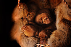 Puppies in a basket Royalty Free Stock Photo