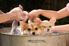 Puppies in a Bath