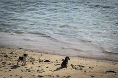 Puppies on the beach. Two stray black and white puppies on the beach near the water in the evening on Mauritius Island Stock Image