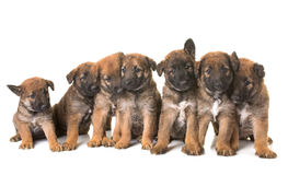 Puppies belgian shepherd dog laekenois. In front of white background stock image