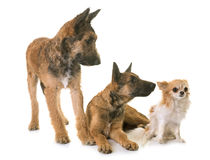 Puppies belgian shepherd laekenois and chihuahua. In front of white background Royalty Free Stock Photos