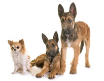 Puppies belgian shepherd laekenois and chihuahua. In front of white background Royalty Free Stock Image