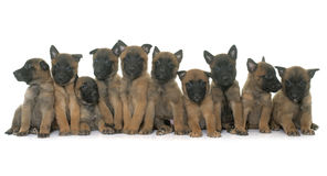 Puppies belgian shepherd malinois. In front of white background stock photos
