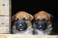 Puppies belgian shepherd malinois Royalty Free Stock Images