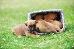 Puppies belgian shepherd malinois Royalty Free Stock Image