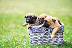 Puppies belgian shepherd malinois Stock Photos