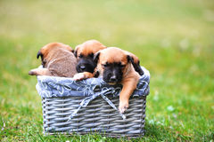 Puppies belgian shepherd malinois Stock Photography