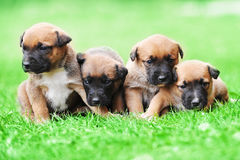 Puppies belgian shepherd malinois. Young puppies belgian shepherd malinois in  field Royalty Free Stock Images