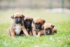 Puppies belgian shepherd malinois Stock Images