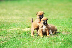 Puppies belgian shepherd malinois. Young puppies belgian shepherd malinois in  field Stock Image