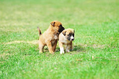 Puppies belgian shepherd malinois. Young puppies belgian shepherd malinois in  field Royalty Free Stock Photo